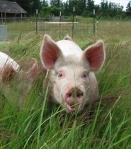 Pastured Pork Closeup