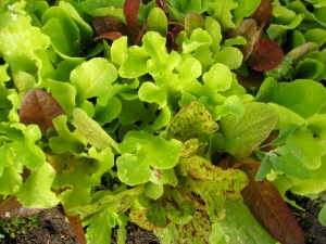 Baby Lettuce 4 08