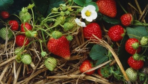 Strawberries-growing-in-the-straw-image-from-Jacqui-Hurst