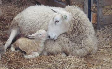 mountain laurel montessori farm school ewe with newborn lamb 2011-1